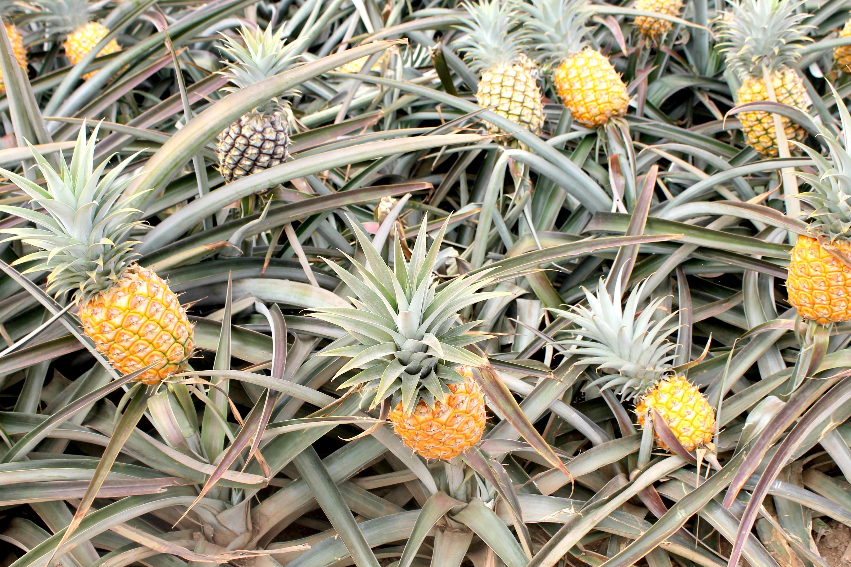 Maui Pineapple Tour Field